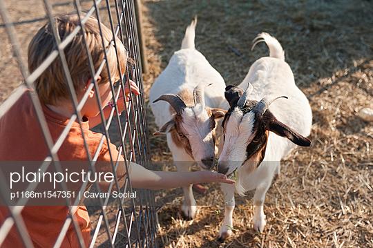 High angle view of boy feeding goats at farm - p1166m1547351 by Cavan Social
