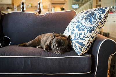 Dog laying on livingroom sofa - p555m1412377 by Alberto Guglielmi