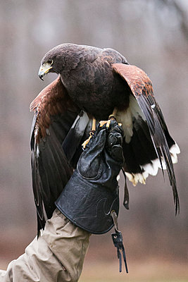 Falconer holding Harris' hawk - p919m1111551 by Beowulf Sheehan