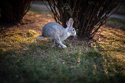 Rabbit running - p1007m1134904 by Tilby Vattard