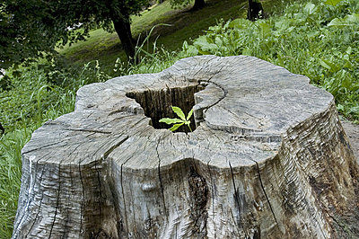 Close-up of a chestnut tree stump - p3488950 by Anna G Tufvesson