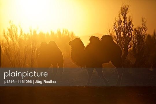 Kamele im Gegenlicht der Morgensonne, Wüste Gobi, Mongolei - p1316m1161096 von Jörg Reuther