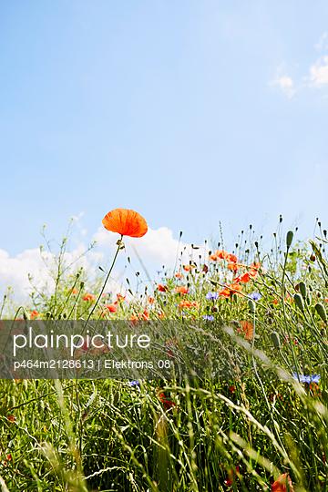 Blumenwiese mit Mohn - p464m2128613 von Elektrons 08