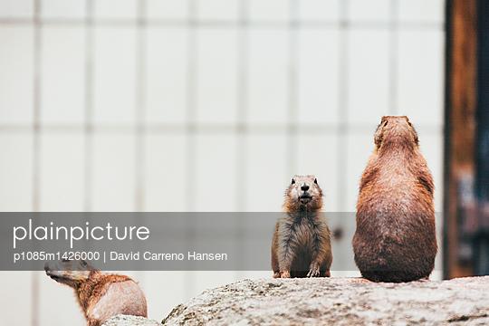 Präriehunde auf Wache - p1085m1426000 von David Carreno Hansen