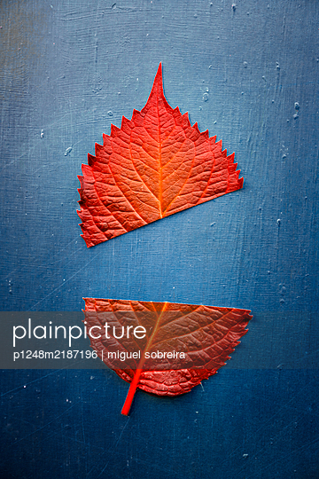 Red Leaf Cut in Two  - p1248m2187196 by miguel sobreira