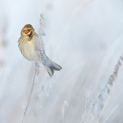 Reed Bunting in winterplumage foraging on seeds of different weeds on a cold morning - p1144m967153 by Michel  Geven