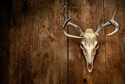 Deer skull with antlers - p1427m2169121 by Tetra Images