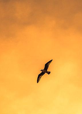 Bird in flight - p1681m2283415 by Juan Alfonso Solis
