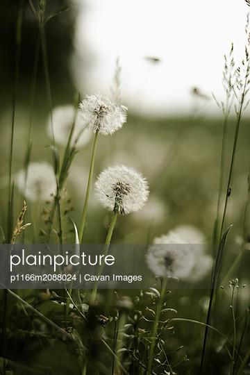Close up of dandelion. - p1166m2088024 by Cavan Images