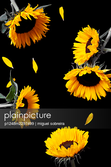 Sunflowers on Black Ground with Missing Petals - p1248m2297499 by miguel sobreira