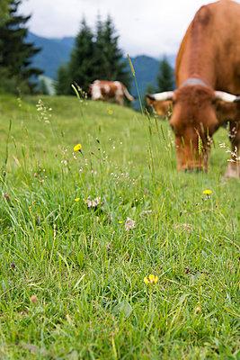 Kühe auf der Weide - p1066m931696 von Ulrike Schacht