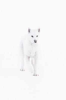 Greenlandic Husky - p1634m2210375 by Dani Guindo