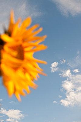 Leuchtende Sonnenblume - p533m1573824 von Böhm Monika