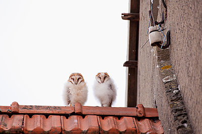 Young owls on the roof - p570m2076974 by Elke Röbken