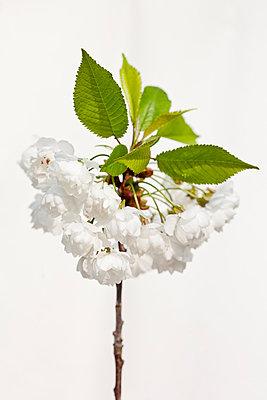 Obstbaumblüte - p570m866201 von Elke Röbken