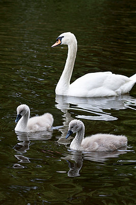 Young swan - p739m668511 by Baertels