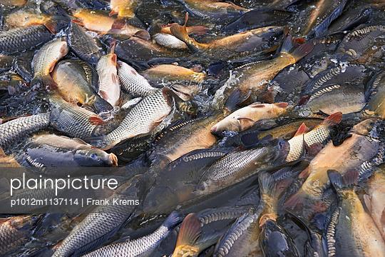 Frisch gefangene Karpfen - p1012m1137114 von Frank Krems