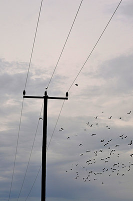 Birds on a wire - p876m710428 by ganguin
