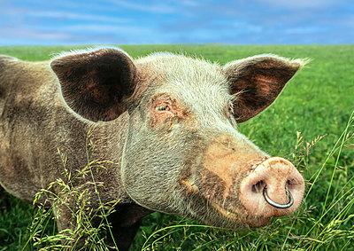 Glückliches Schwein - p1275m2254116 von cgimanufaktur