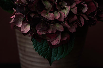 Close up of red hydrangea - p1470m1539158 by julie davenport
