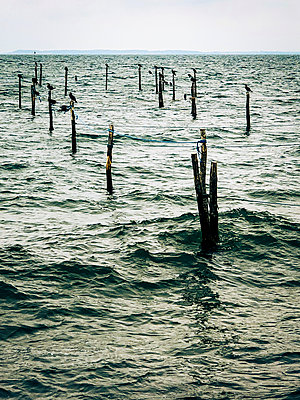 Stakes with cormorants in the Baltic Sea - p382m2283968 by Anna Matzen