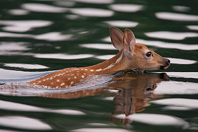 White-tailed Deer fawn swimming - p884m863716 by Matthias Breiter
