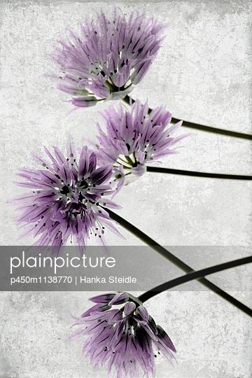 Schnittlauchblüten    - p450m1138770 von Hanka Steidle