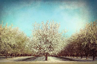 Blühender Mandelbaumhain - p1154m2289161 von Tom Hogan