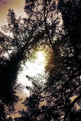Licht durchleuchtet eine Kiefer - p1248m1503210 von miguel sobreira