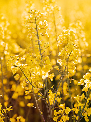 Yellow flowers - p312m2078836 by Peter Westrup