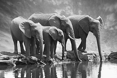 Elephant family - p616m2053520 by Thomas Eigel