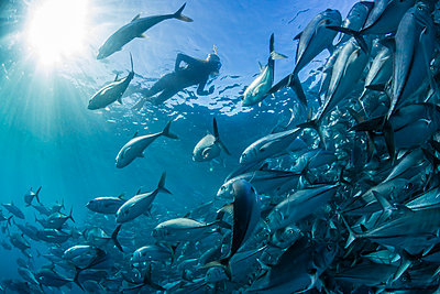A snorkeler with a large school of bigeye trevally  in deep water near Cabo Pulmo, Baja California Sur, Mexico, North America - p871m1082133 by Michael Nolan