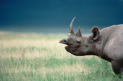 Black Rhinoceros calling in tall grass - p8840662 by Mitsuaki Iwago