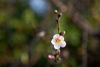 Almond Blossom La Palma - p1095m2072785 by nika