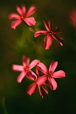 Pink flowers background - p1166m2111596 by Cavan Images