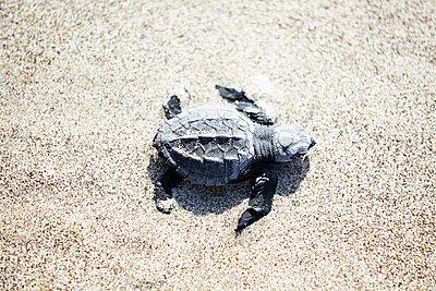 Little turtle on sand - p312m1472433 by Anna Kern