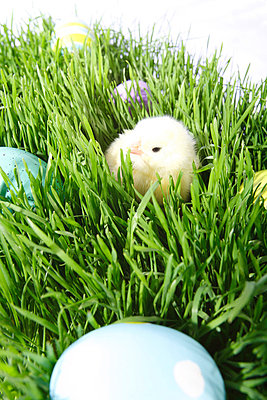 Colored eggs and a baby chick in the grass - p4425868f by Design Pics