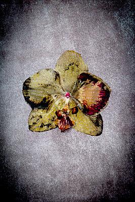 Orchid - p451m2258028 by Anja Weber-Decker