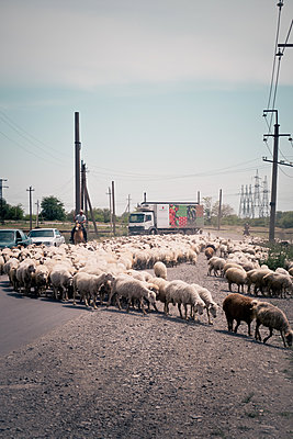 Sheep flock on the street - p795m1592087 by JanJasperKlein