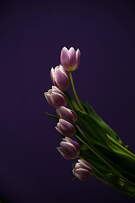 Purple tulips - p919m2192489 by Beowulf Sheehan