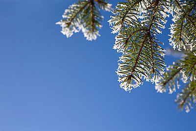 Close up of pine needles with hoar frost - p92411739f by Elizabeth Ellen