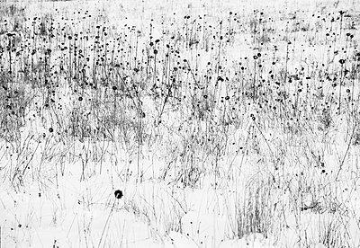Sonnenblumenfeld im Winter - p1649m2253061 von jankonitzki