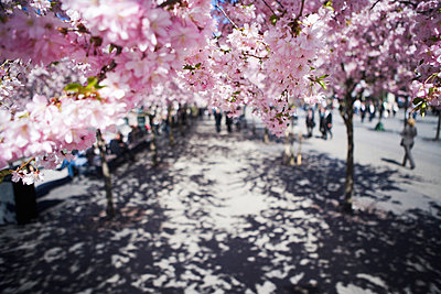 Cherry-trees Stockholm Sweden - p31222378f by Plattform