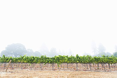 Rows of grapevines in misty vineyard, Sebastapol, California, USA - p429m1095348f by Nancy Honey