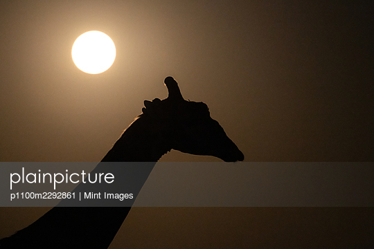 The silhoutte of a giraffe, Giraffa camelopardalis giraffa, sun in background - p1100m2292861 by Mint Images