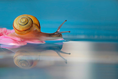 A snail reflected in water - p1144m967523 by Trui  Alink