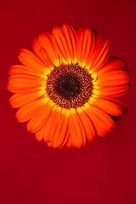 Orange, red, and yellow gerbera daisy flower photographed in studio against deep/dark red/burgundy/maroon background - p919m2206454 by Beowulf Sheehan