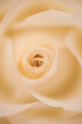 Yellow rose - p971m911933 by Reilika Landen