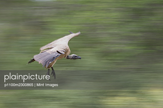 A white-backed vuture, Gyps africanus, flies close to the ground, motion blur - p1100m2300865 by Mint Images