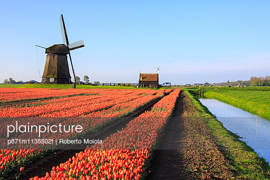 Red tulip fields and blue sky frame the windmill in spring, Berkmeer, Koggenland, North Holland, Netherlands, Europe